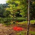 写真: 曼珠沙華の咲く風景