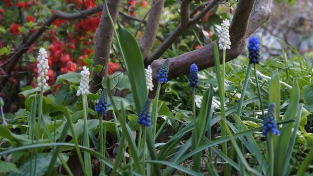 白と青のムスカリ