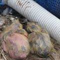 Photos: ベランダの鳩のヒナ1