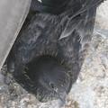 Photos: 大きくなったベランダの鳩_11