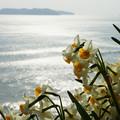 Photos: 黒岩水仙郷 沼島と水仙_02