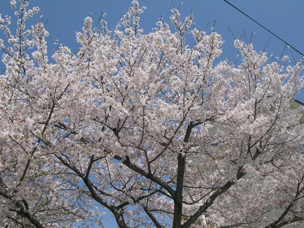 嵐の前の桜 兵庫中学_01