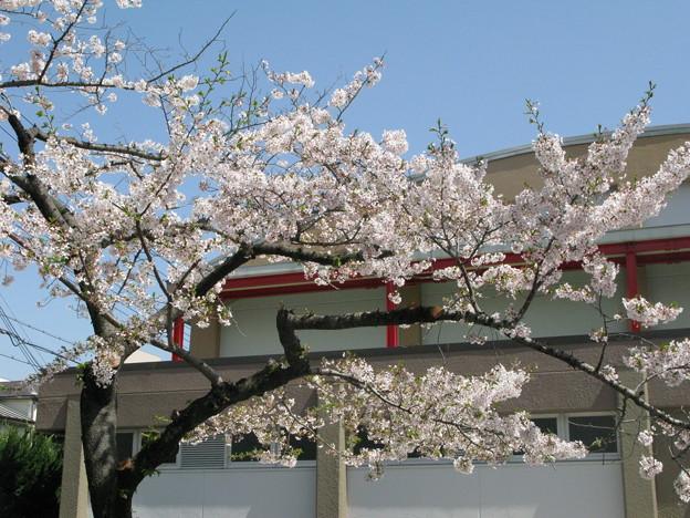 嵐の前の桜 兵庫中学体育館_01