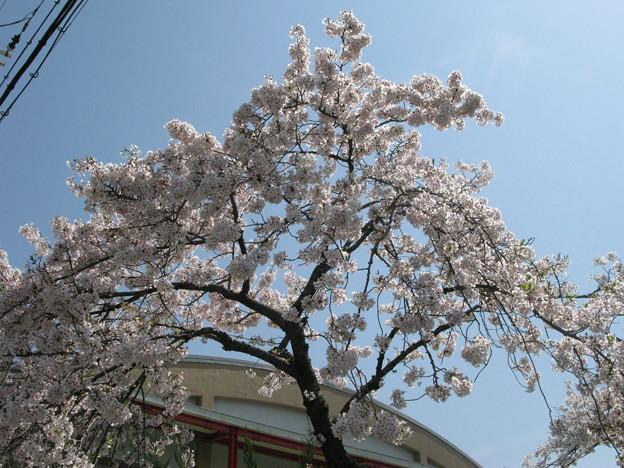 嵐の前の桜 兵庫中学体育館_03