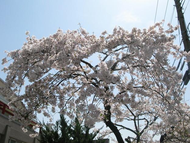 嵐の前の桜 兵庫中学体育館_04