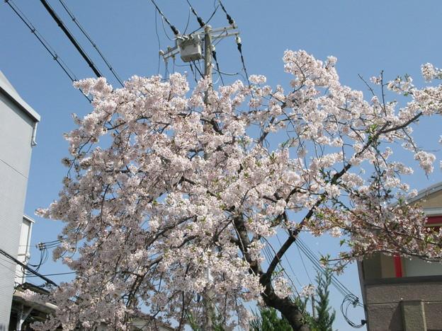 嵐の前の桜 兵庫中学体育館_05