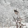 椋鳥雪中図