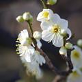 Photos: 緑萼梅