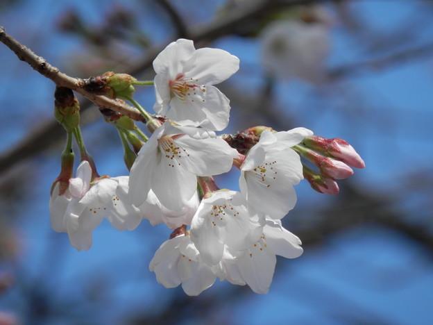Photos: 桜咲いたょ