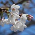 桜咲いたょ