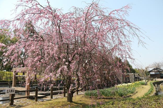 枝垂れ桜 IMG_5737
