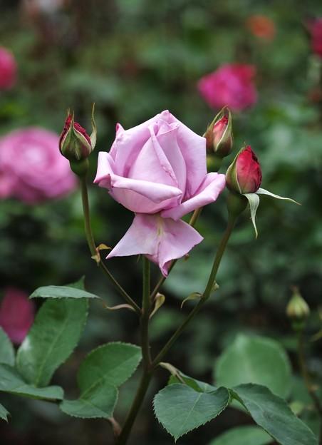 薄紫の薔薇2