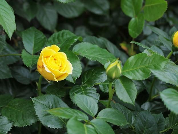 幸せの黄色い薔薇4