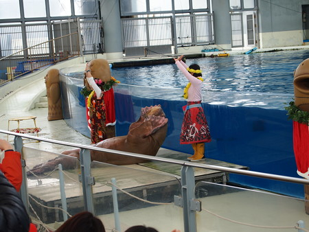 セイウチのフラダンス