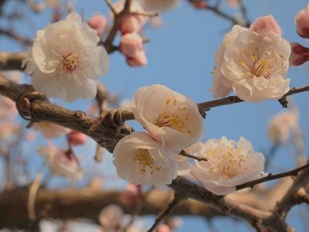 梅の花が、咲きました