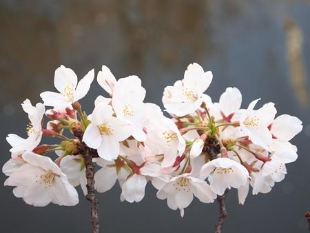 桜の三つ編み