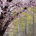 写真: 桜と白樺