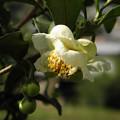 写真: 茶の花