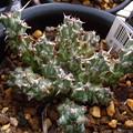 写真: Euphorbia sp. nov