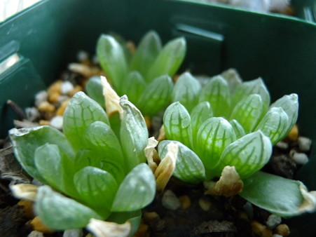 Haworthia transiens