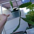 写真: Epiphyllum
