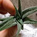 写真: H.limifolia v.striata  #7