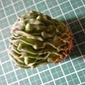 写真: Echinofossulocactus spp. Brevispinus