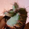 写真: Cereus forbesii spiraliforme
