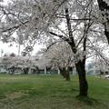 写真: 桜 2013