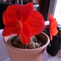 写真: Cattleya coccinea