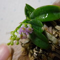 写真: Schoenorchis fragrans