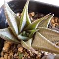 """写真: H.limifolia """"Asamidori ruriden"""""""