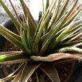 写真: H.semigrabrata variegata