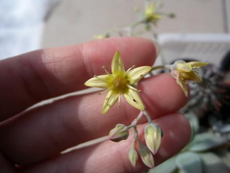 ゴースティの花