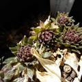 写真: 'Halluarar's seedling'
