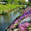 写真: 渋田川の芝桜