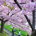 写真: 桜記念