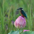 写真: Flower Jewel 翡翠(かわせみ)