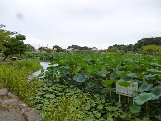 蓮華寺池公園のスイレン