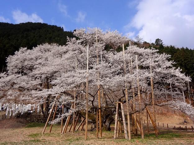 Photos: 淡墨桜