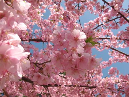 桜、青空を背景に