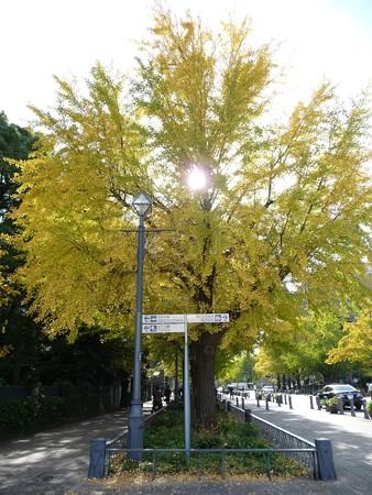121115-紅葉 日本大通り・県庁 (10)