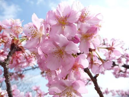 130311-松田山 河津桜 (6)