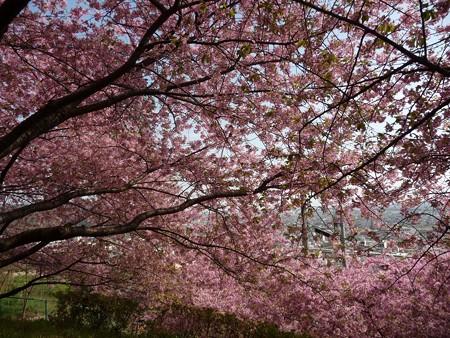 130311-松田山 河津桜 (14)