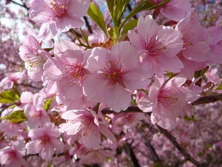 130311-松田山 河津桜 (23)