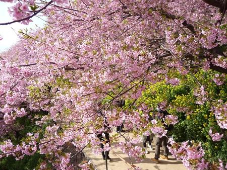 130311-松田山 河津桜 (25)