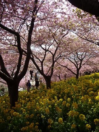130311-松田山 河津桜 (28)