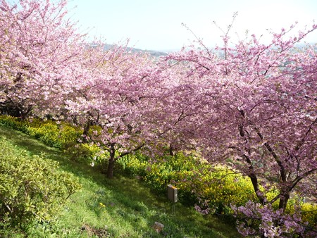 130311-松田山 河津桜 (100)