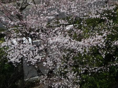 130321-桜 (1)