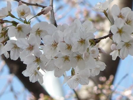 130321-桜 (8)
